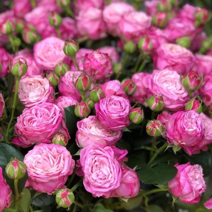 Розы спрей (кустовые)